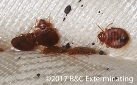 Bed bugs and excrement